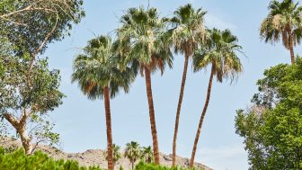 Palm Trees at Ingleside